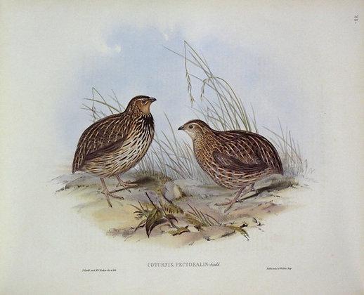 Plate 588: Coturnix Pectoralis