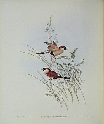 Plate 392: Poephila Leucotis