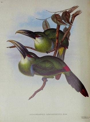 Plate 046: Aulacoramphus Caeruleicinctus