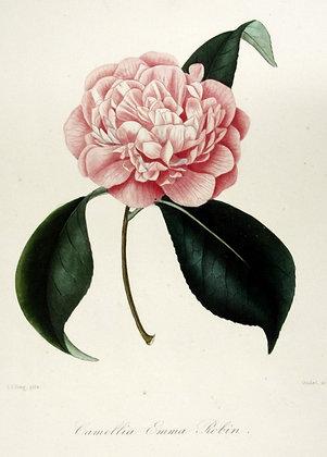 Camellia Emma Robin