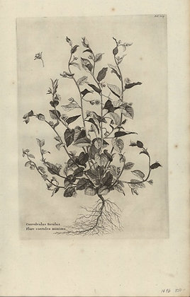 Plate 138: Convolvulus Siculus flore coerulco mini