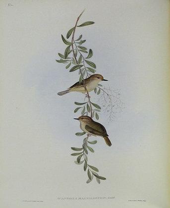 Plate 352: Sericornis Magnirostris