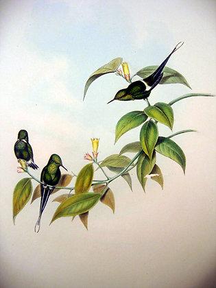 Plate 129: Gouldia Conversi