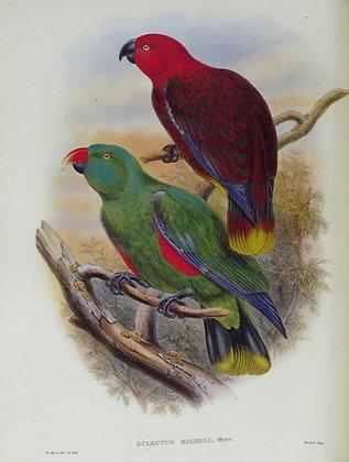 Plate 532: Eclectus Riedeli