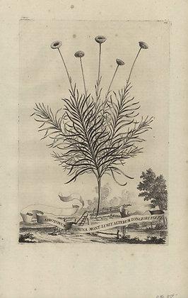 Plate 069: Abrotonum foemina Montanum Lusitanicum