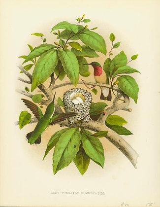 Plate 07: Ruby-throated Humming-bird