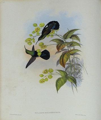 Plate 083: Eulampis Holosericeus