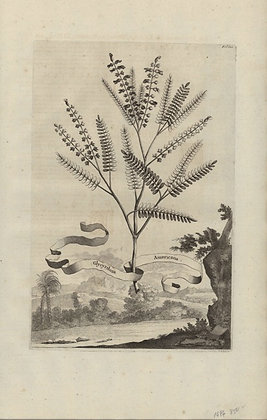 Plate 169: Glycyrrhiza Americana