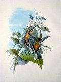 Plate 020: Phæthornis Syrmatophorus