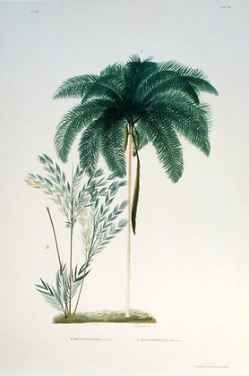 Plate 165: A. Cocos Picrophylla