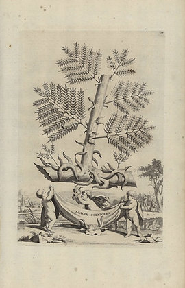 Plate 010: Acacia cornigera