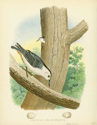 Plate 36: White-bellied Nuthatch