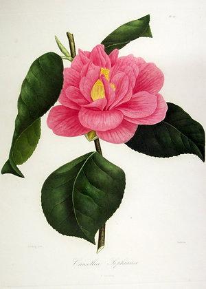 Camellia Sophiana