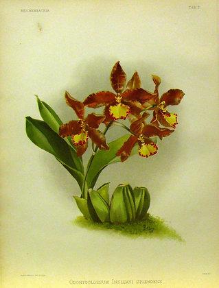 Plate 007: Odontoglossum insleayi splendens
