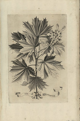 Plate 011: Acer platanoides