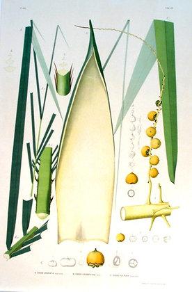 Plate 168: A. Cocos Odorata