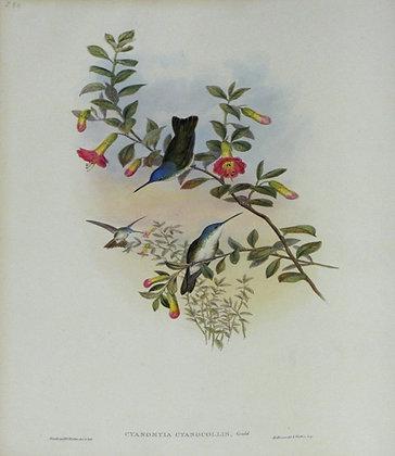 Plate 288: Cyanomyia Cyanocollis