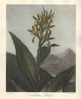 Plate 07: Indian Reed