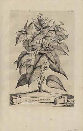 Plate 067: Japlappa minor purpurea