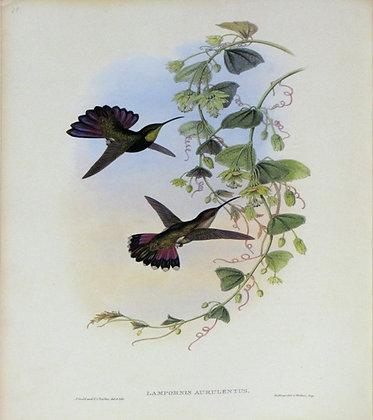 Plate 079: Lampornis Aurelentus