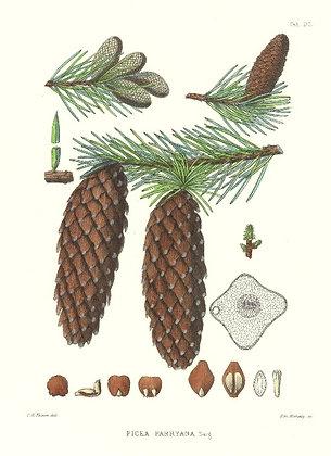 Plate 600: Picea Parryana (Blue Spruce)