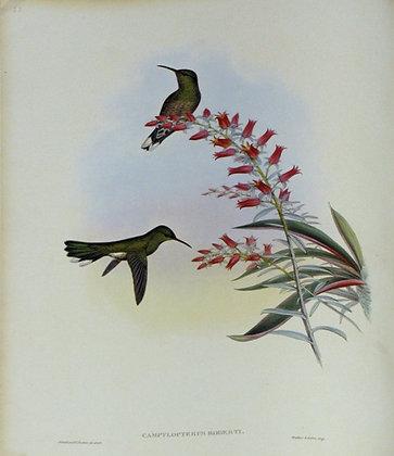 Plate 053: Campylopterus Roberti