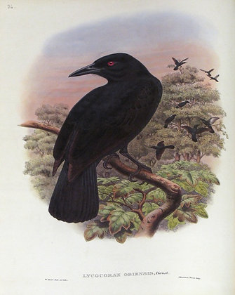 Plate 136: Lycocorax Obiensis