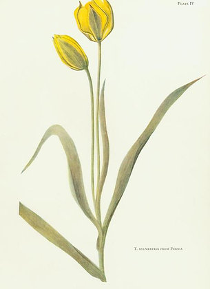 Plate 04: T. Sylvestris Linn