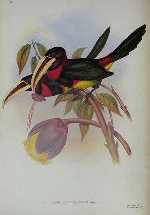 Plate 28: Pteroglossus Azarae