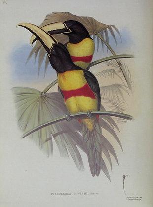 Plate 16: Pteroglossus Wiedi