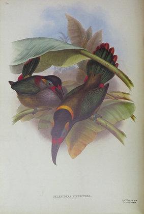 Plate 036: Selenidera Piperivora