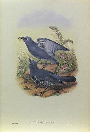 Plate 205: Graucalus Axillaris