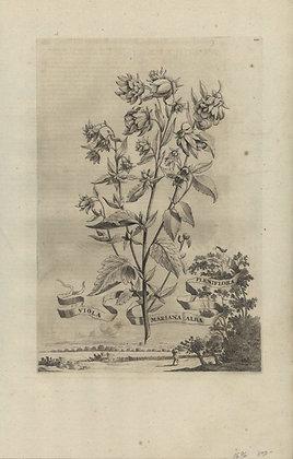 Plate 124: Viola mariana alba pleniflora