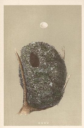 Plate 035: Long-tail Tit