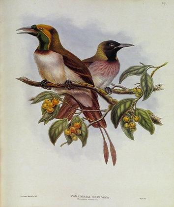 Plate 129: Paradisea Papuana
