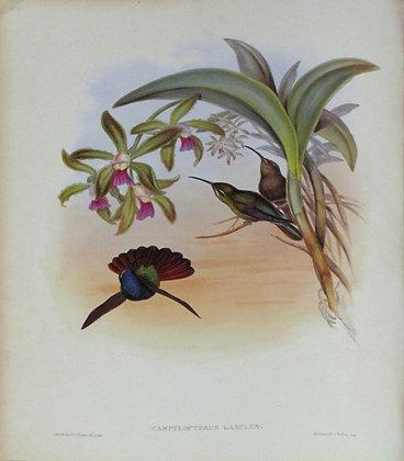 Plate 044: Campylopterus Lazulus