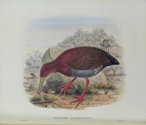 Plate 571: Gymnocrex Plumbeiventris