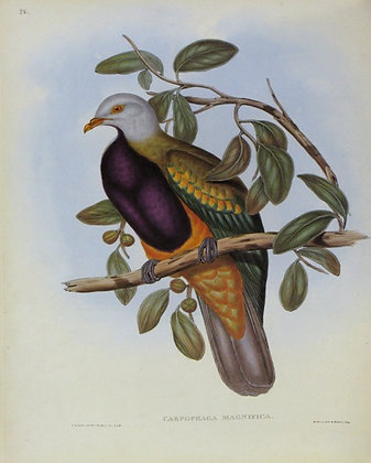 Plate 558: Carpophaga Magnifica