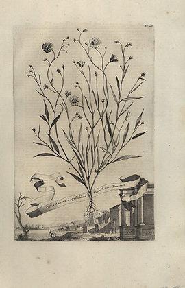 Plate 040: Cistus annuus angustifolius flore lueto