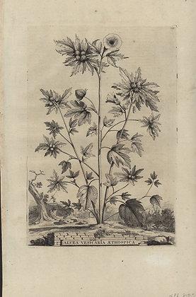 Plate 072: Alcea vesicaria Aethiopica