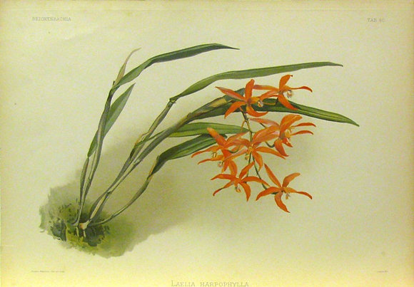 Plate 040: Laelia harpophylla