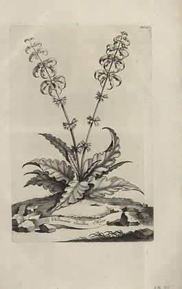 Plate 180: Horminum Indicum majus