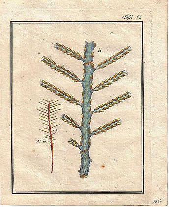 Plate 06: 10. Erect pennated Coralline