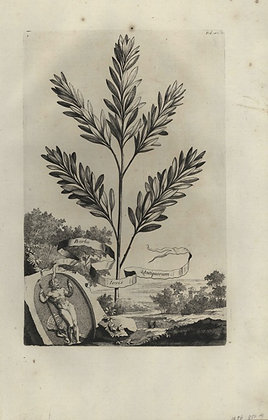 Plate 052: Barba Jovis antiquorum