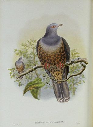 Plate 560: Gymnophaps Poecilorrhoa