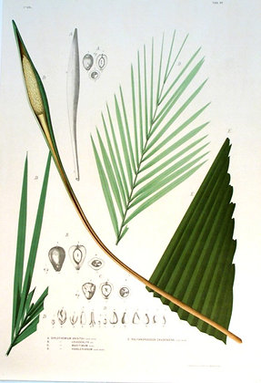 Plate 188: A. Diplothemium Anisitsii