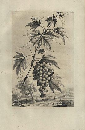 Plate 059: Vitis Virginiana foliis laciniatis