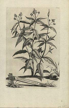Plate 106: Apocynum Americanum asclepiadeum