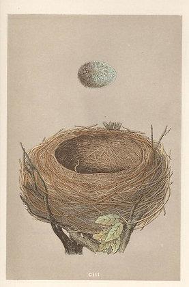 Plate 103: Blackbird