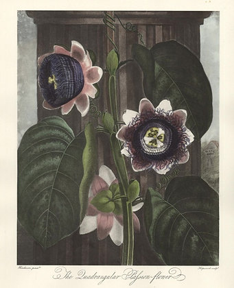 Plate 12: The Quadrangular Passion Flower